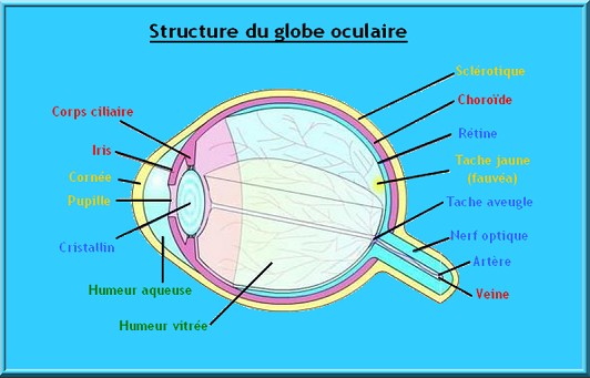 structure globe oculaire