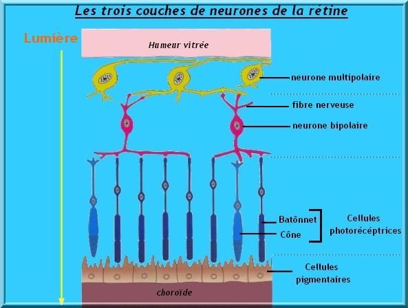 les couches de neurones de la rétine